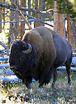 "American bison Bison bison is North American species of bison known as American buffalo, buffalo, bison, ox-like, french fur trappers hunt bison, bison or buffalo roamed grasslands of North America in massive herds, plains bison Bison bison bison, wood bison Bison bison athabascae,  hovid,    bison has a shaggy long dark brown winder coat and a lighter weight lighte brown summer coat, Bison can reach up to  feet 6 inchesweigh 2,500 pounds, herbivores, grazing grasses sedges and prairies, Montana, Native Americans, Indians, state located in the Western United States, Rocky Mountains, ""Treasure State,"" ""Big Sky Country,"" ""Land of the shining Mountains,"" ""The Last Best Place,"" Glacier National Park, Battle of Little Bighorn, Yellowstone National Park, Fine Art Photography by Ron Bennett, Fine Art, Fine Art photography, Art Photography, Copyright RonBennettPhotography.com ©"
