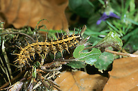 Kaisermantel, Raupe, Silberstrich, Argynnis paphia, Silver-washed fritillary, caterpillar, Le Tabac d'Espagne, Edelfalter, Nymphalidae
