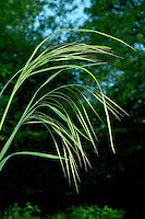 Barren Brome Anisantha (Bromus) sterilis Height to 1m. Annual or biennial grass. Inflorescence drooping,  with stalked florets and long awns; May-July. Dry, bare and cultivated ground. Widespread but seldom common.