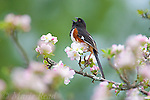 Eastern Towhee (Pipilo erythrophthalmus), male singing amid apple blossom in spring, New York, USA