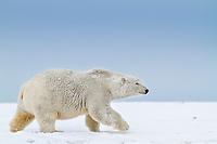 Polar bear walks along a snow covered island in the Beaufort Sea on Alaska's arctic coast.