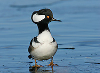 Hooded Merganser - Lophodytes cucullatus - male