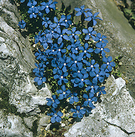 Height to 7cm. Stunningly attractive perennial of limestone grassland. FLOWERS are 20-25mm across, 5-lobed and bright blue; borne on upright stems (May-Jun). FRUITS are capsules. LEAVES are oval and bright green; form a basal rosette and appear in opposite pairs on the stem. STATUS-Restricted to a few locations in Upper Teesdale (in N England) and the Burren (in W Ireland), but sometimes locally common there.