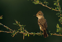 Ash-throated Flycatcher, Myiarchus cinerascens, adult, Starr County, Rio Grande Valley, Texas, USA
