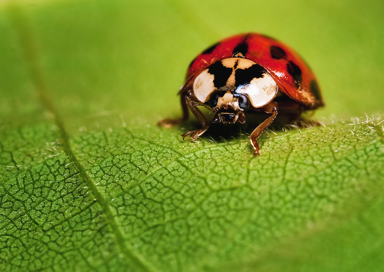 Ladybug, Hippodamia convergens