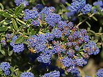 Ceanothus Concha, California Lilac