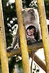 A Macaque monkey sits outside the Batu Caves, a Hindu holy site, near Kuala Lumpur, Malaysia.