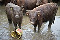 02/02/17<br /> <br /> As storm Doris blows in bringing rain and gales, a herd of bedraggled Highland cattle stand in a muddy field near Cromford in the Derbyshire Peak District.<br /> <br /> All Rights Reserved F Stop Press Ltd. (0)1773 550665 www.fstoppress.com