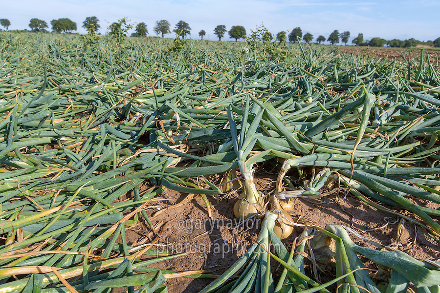 Mature onions ready for harvest - Lincolnshire, August
