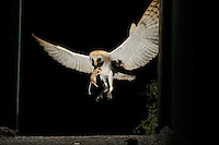 Barn Owl with a rat