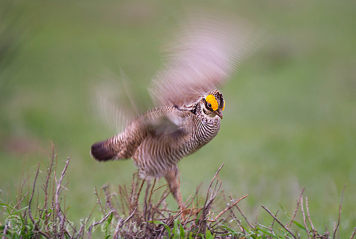 572110189 a wild lesser prairie chicken tympanuchus pallidicintus displays and struts on a lek on a remote ranch near canadian in the texas panhandle