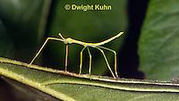 OR07-541z  Walking Stick Insect,  juvenile camouflaged on tree, Acrophylla wuelfingi
