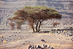 Sahara acacia trees (Acacia raddiana) in the Sahara desert.