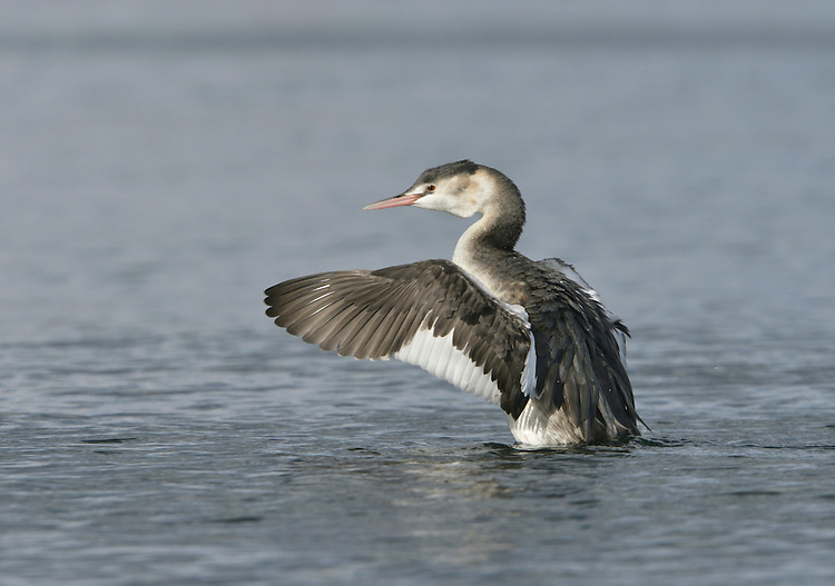 Great Crested Grebe Podiceps cristatus - Winter. L 46-51cm. Graceful waterbird with slender neck and dagger-like bill. White wing panels revealed in flight. Dives frequently. Sexes are similar. Adult in summer has grey-brown upperparts and mainly whitish underparts; head has black cap and crest, and orange-buff ruff bordering paler cheeks. Bill is pink and eye is red. In winter, has drab grey-brown and white plumage. Juvenile recalls winter adult but has dark stripes on cheeks. Voice Utters wails and croaks in breeding season. Status Locally common breeding species on lakes and reservoirs. Widespread in winter, when also found in inshore seas.