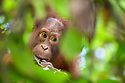 Bornean Orang-utan juvenile (Pongo pygmaeus wurmbii), Danum Valley, Sabah, Borneo. June.