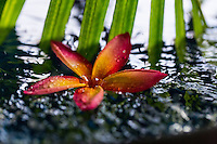 A colorful plumeria covered by raindrops floats in a pond on O'ahu.