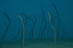 Dusky garden eels (Heteroconger enigmaticus) coming out of the sand.