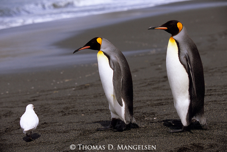 King penguins on a Gold Harbour beach on South Georgia.