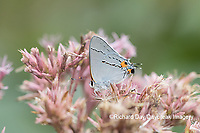 03191-00701 Gray Hairstreak (Strymon melinus) on Joe Pye Weed (Eutrochium purpureum) Marion Co. IL