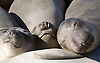 THREE ELEPHANT SEAL PUPS SLEEP ON A BEACH AT ANO NUEVO STATE NATURAL RESERVE, CALIFORNIA
