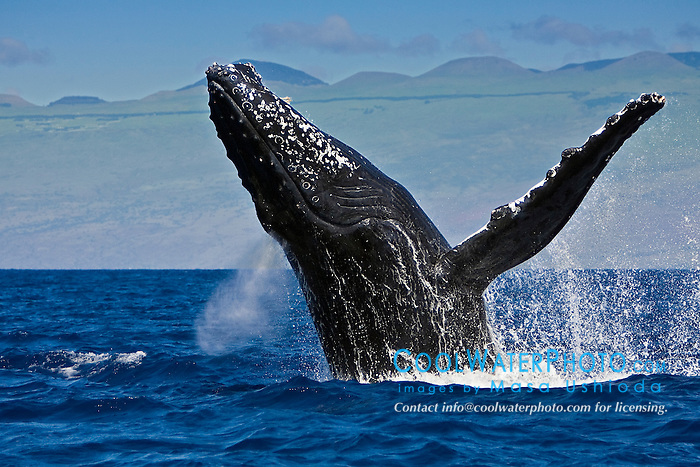 humpback whale, Megaptera novaeangliae, breaching, Kohala Mountain in background, Hawaii, USA, Pacific Ocean