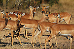 The Kruger National Park is the largest game reserve in South Africa and one of the world's biggest wildlife sanctuaries. Some Springbok watch for danger. South Africa. Wednesday  23rd June 2010. Photo: (Steve Christo)