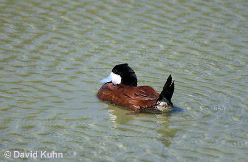 0825-0901  Male Ruddy Duck, Oxyura jamaicensis © David Kuhn/Dwight Kuhn Photography