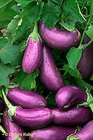 HS60-001b  Eggplant - Neon variety