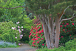 Seattle, WA<br /> Kubota Garden city park, a multi trunked pine and flowering rhododendron protect a hidden path