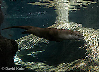 0806-0802  Northern River Otter, Lontra canadensis  © David Kuhn/Dwight Kuhn Photography.