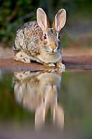 673280031 a wild desert cottontail rabbit sylvilagus audubonii drinks and sits at a small pond in the rio grande valley of south texas