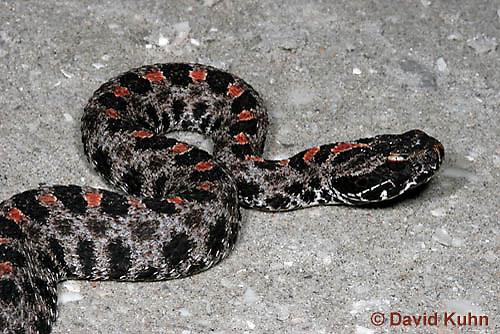 0710-0804  Dusky Pygmy Rattlesnake, Sistrurus miliarius barbouri © David Kuhn/Dwight Kuhn Photography