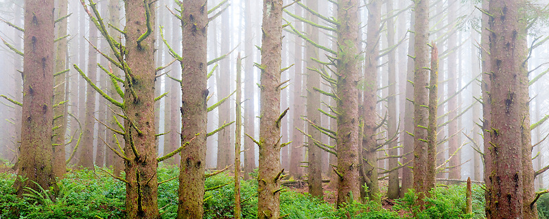 Sitka Spruce forest with fog on the oregon coast. Samuel H. Boardman State Scenic Corridor. Oregon