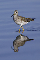 Lesser Yellowlegs wading through a marsh