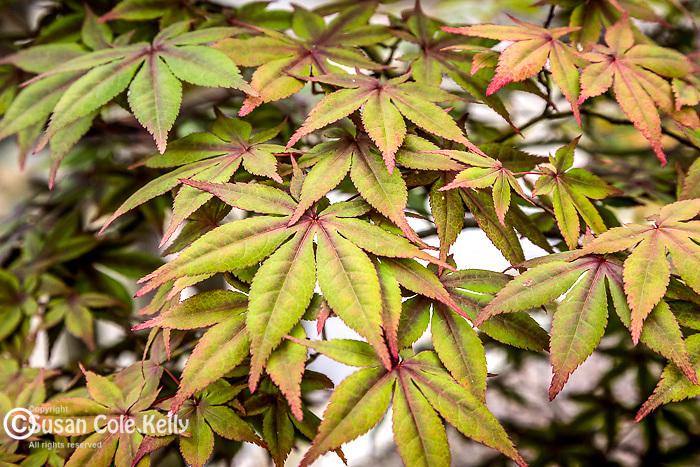 Japanese Maple leaves at the Arnold Arboretum in Jamaica Plain, Boston, Massachusetts, USA