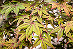 Japanese Maple leaves at the Arnold Arboretum in Jamaica Plain, Boston, Massachusetts, USA