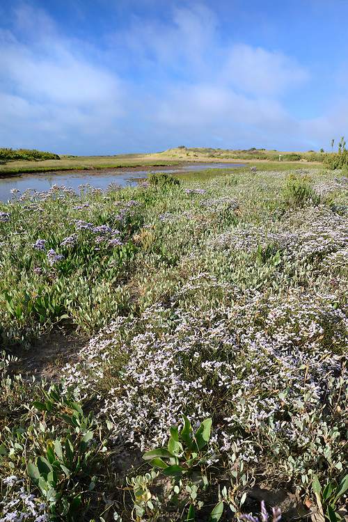 MATTED SEA-LAVENDER - Limonium bellidifolium on the saltmarsh at Holme Nature Reserve, Norfolk. (Height to 25cm) is a compact perennial that grows in saltmarshes, and is restricted mainly to the north Norfolk coast. The spoon-shaped basal leaves mostly wither before the spreading, arching sprays of pinkish lilac flowers, with many non-flowering shoots below, appear (Jul-Aug).