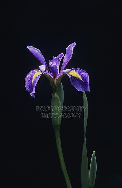 Slender Blue Flag Iris (Iris prismatica), Raleigh, Wake County, North Carolina, USA