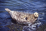 Harbor seal, pregnant female
