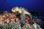 Hawksbill turtle (Eretmochelys imbricata) a critically endangered species, feeding on soft coral, side view, South Ari Atoll, Maldives