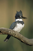 Belted Kingfisher, Megaceryle alcyon,male lcalling, Willacy County, Rio Grande Valley, Texas, USA, May 2004