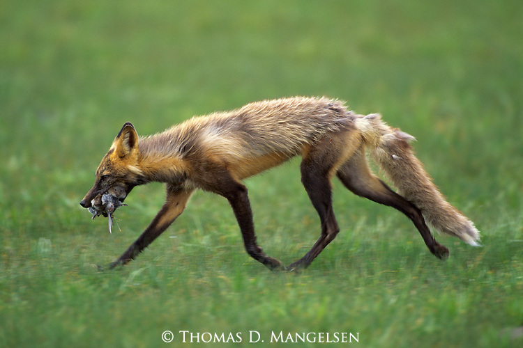 A cross fox carries food in Denali National Park, Alaska.