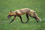 A cross fox carries food in Denali National Park, Alaska.