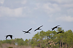 A flock of Glossy Ibises take flight over the freshwater marsh