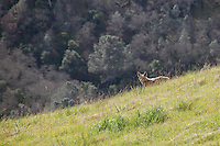 A coyote prowling the foothills of Mount Diablo, California, pays close attention to visitors to his domain.