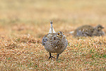 Male sharp-tailed grouse displaying on a lek in the Namekagon Barrens.