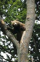 Braunbär, Braun-Bär, Bär, klettert auf Baum, Ursus arctos, brown bear
