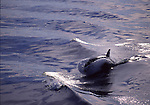 orca riding wake in Monterey Bay