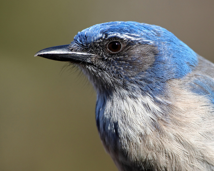 "The ""blue jay"" of dry Western lowlands, the Western Scrub-Jay combines deep azure blue with dusty gray-brown and white. The rounded, crestless head immediately sets it apart from Blue Jays and Steller's Jays."