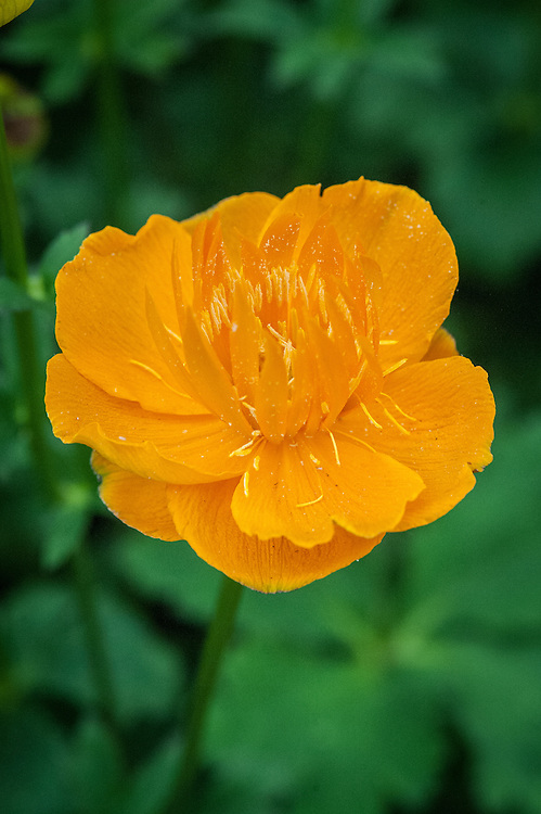 Trollius 'Dancing Flame', shortlisted for Plant of the Year at the RHS Chelsea Flower Show, 2014.
